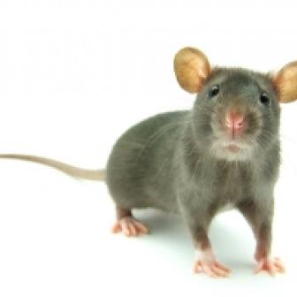 Sen o szczurze