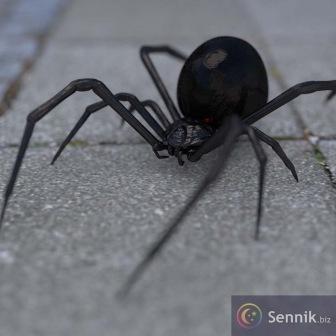 Czarna wdowa (pająk)
