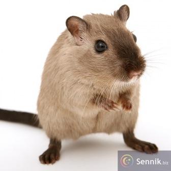 Mysz, myszy