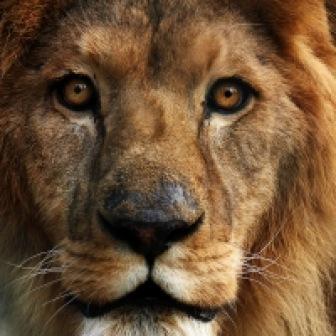 Sen o lwie
