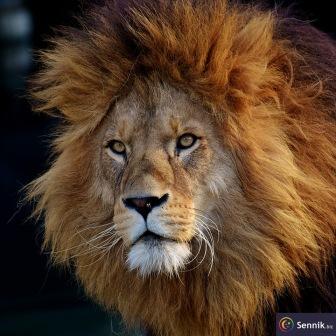 Randki lwicy