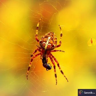 Pająk, pająki