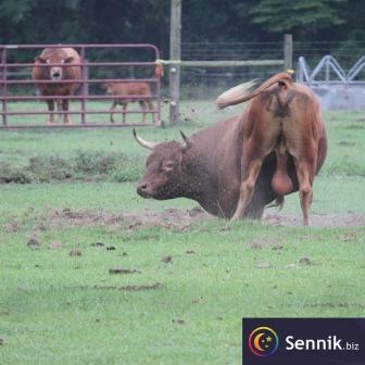 Walka byków