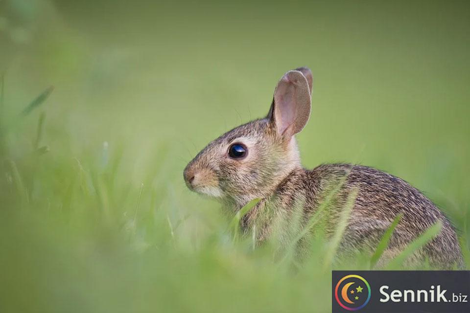 królik sennik