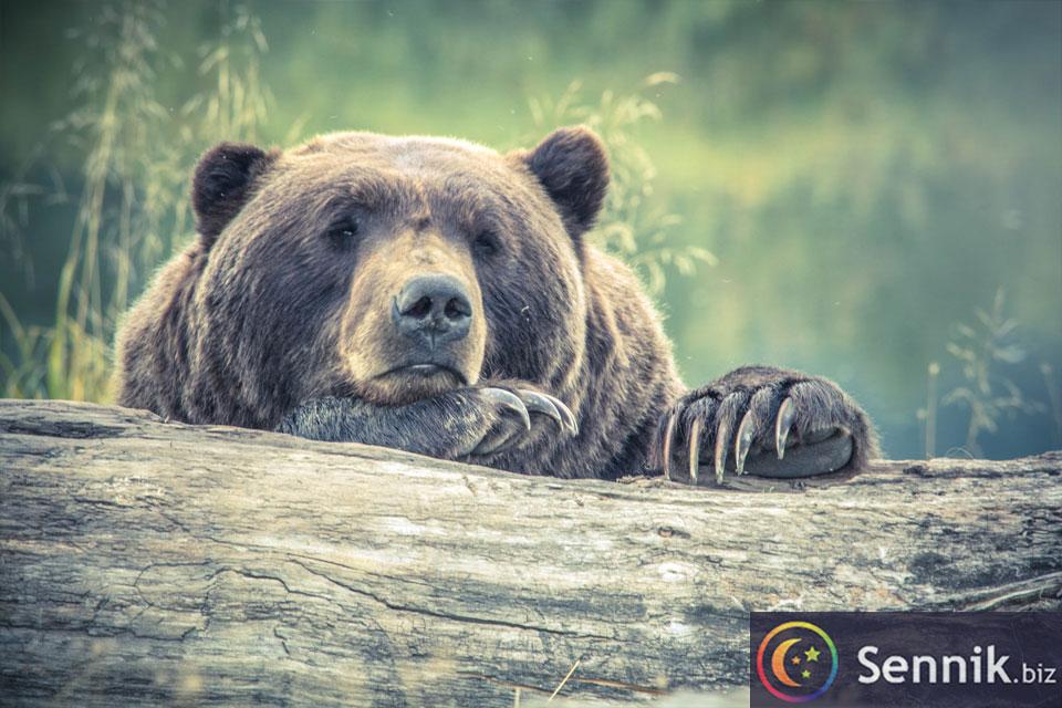 niedźwiedź znaczenie snu