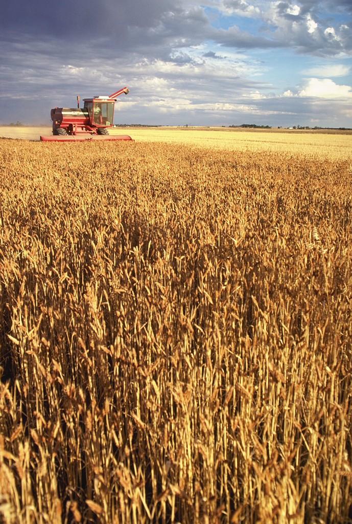В Хакасии обмолочено 22% пшеницы